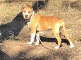 Chiot American Staffordshire Terrier femelle à vendre