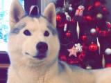 Chiots Husky Sibérien à naître
