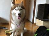 Husky Siberien LOF pour saillie