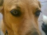 Donne chienne Royal Bourbon de la Réunion