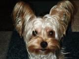 Propose étalon Yorkshire Terrier pour saillie