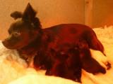 Adorables Chihuahua à poils longs non LOF à vendre