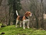 Propose Obiwan, Beagle LOF pour saillie