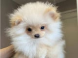 Adorables chiots Pomeranian de type ourson âgés de 4 mois à vendre