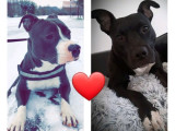 Chiots American Staffordshire Terrier à vendre