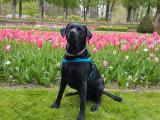 Labrador noir disponible pour saillie