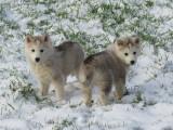 6 chiots Husky LOF à réserver