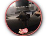 Ruby, Yorkshire Terrier croisée Pinsher, à l'adoption