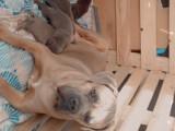 10 chiots Cane Corso à vendre (6 Femelles & 4 Mâles)