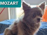 Chihuahua LOF à poil long disponible pour saillie