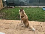 Cherche une femelle Husky Sibérien pour une saillie