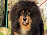 A réserver :  8 chiots Dogue du Tibet / Couleur fauve ou noir et feu