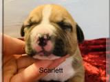 Chiots American Staffordshire Terrier à réserver