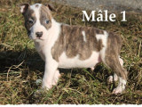 A placer : 4 chiots American Staffordshire Terrier LOF