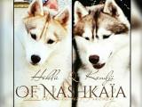 A réserver : 7 chiots Husky de Sibérie LOF