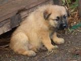 A vendre : un chiot de trois mois mâle Bouvier des Ardennes LOF
