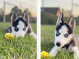 Magnifique Husky pour saillie