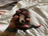Chiot Staffordshire Bull Terrier mâle à vendre