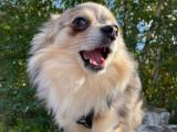 Chihuahua merle pour saillie