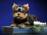 Chiot Yorkshire Terrier mâle à vendre