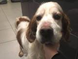 A adopter : Duke, Setter âgée de 12 ans