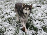 A adopter : une femelle croisé Malamute/Husky âgée de 3 ans