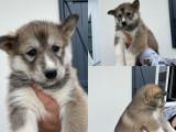 4 chiots Husky Sibérien à vendre (4 Femelles)