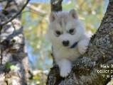 Chiot de race Sibérian Husky