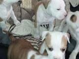 5 chiots American Staffordshire Terrier à vendre (1 Femelle & 4 Mâles)