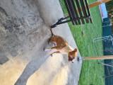 Chien American Staffordshire Terrier à vendre