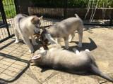 5 chiots Husky Sibérien à vendre (4 femelles & 1 mâle)