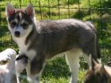 2 chiots Husky Sibérien à vendre (1 femelle & 1 mâle)