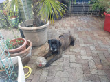 Magnifique Dogo Canario de 10 ans en pleine forme