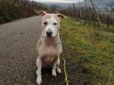 Khali, une chienne de type American Staffordshire Terrier à adopter