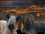 4 chiots Skye Terrier femelle et mâles à vendre
