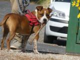 Mâle American Staffordshire Terrier non-LOF marron et blanc à placer
