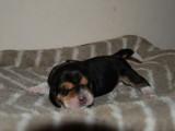 À vendre superbe chiot mâle Beagle, LOF