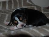 Chiot mâle Beagle, LOF, en quête de son futur propriétaire