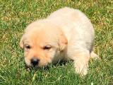 Chiot mâle Labrador LOF