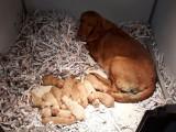 A vendre : chiots Labrador Retriever LOF