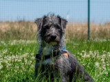 Femelle adulte d'apparence griffon 2 ans robe grise à adopter