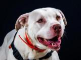 Femelle adulte de type Dogue Argentin 4 ans robe blanche à adopter