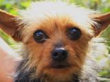 Jeune femelle de type Yorkshire Terrier 2 ans robe fauve à adopter