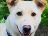 Jeune femelle croisée Labrador Retriever 1 an robe blanche disponible