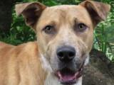 Jeune mâle croisé Labrador Retriever 1 an robe beige à adopter