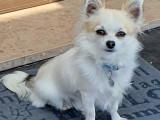 Chihuahua disponible pour saillie