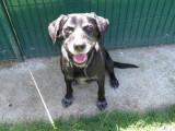 Mâle adulte croisé Labrador Retriever 8 ans robe noire disponible