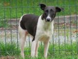 Jeune femelle croisée de type ratier robe noire et blanche 1 an à adopter