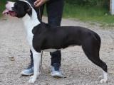 A vendre : une femelle American Staffordshire Terrier âgé de 5 ans