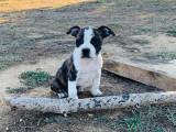 Chiots American Staffordshire Terrier LOF à réserver
